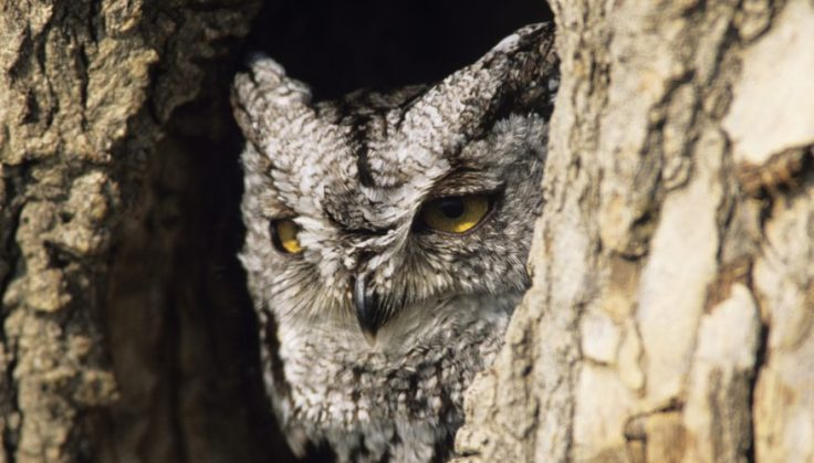 CherokeeOwl