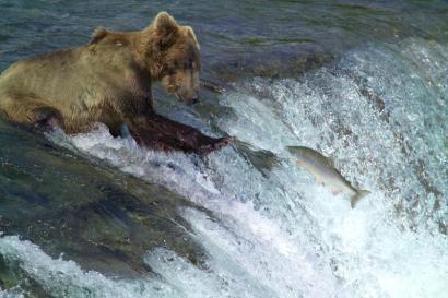 AlaskaBearSalmon