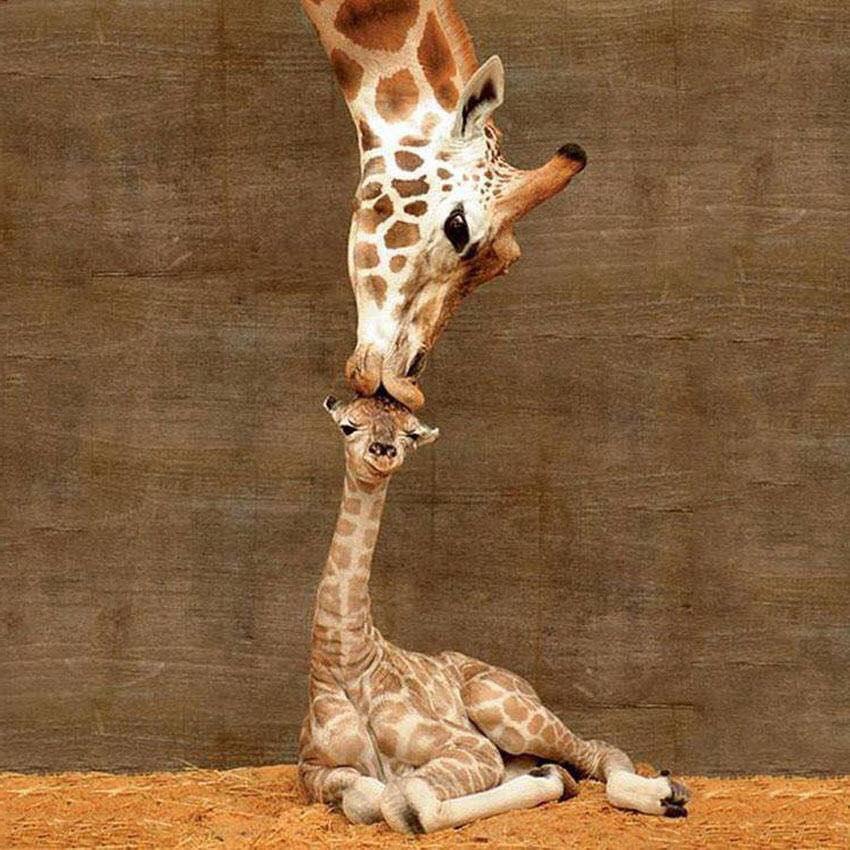 BabyGiraffe