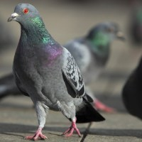 Pigeon Medicine: The Power of Unimportant Birds