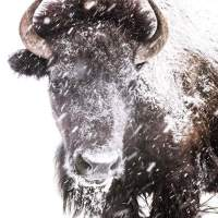 Buffalo Medicine: Loving the Unlovely