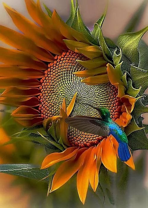 Hummingbird Sunflower