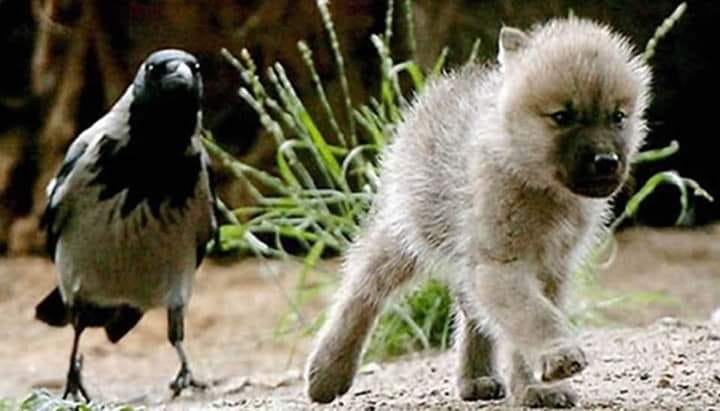 Crow and Wolf Puppy