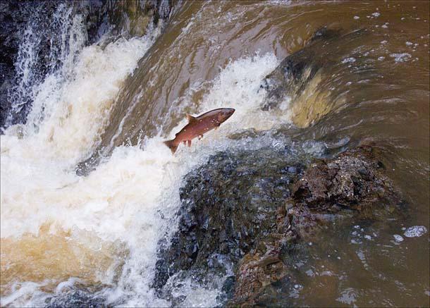 Salmon Sacred Journey