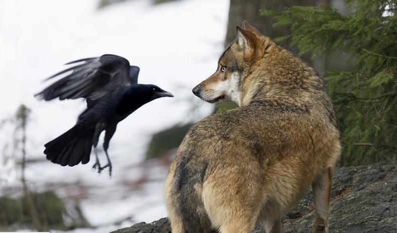 Wolf N Crow