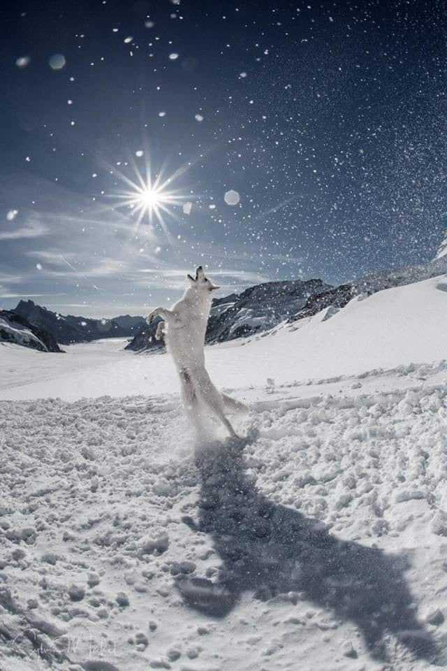 Snow Wolf Dance