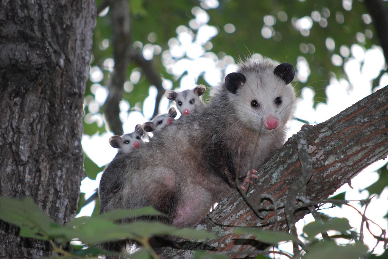 Deer Tribe Metis Medicine Society Possum