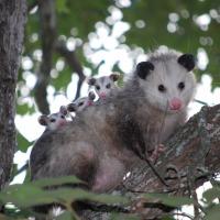 Possum Medicine - Playing Dead as a Healing Strategy